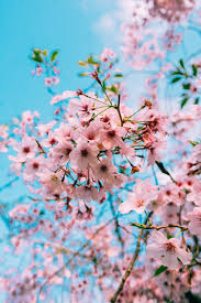 Cherry Blossom Wallpapers: Free HD ...