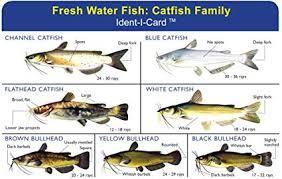 Catfish Family Ident I Card Freshwater Fish Identification