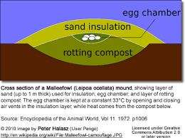 Image result for mound for a nest: The Mallee Fowl/ Leipoaocellata / Australia/