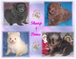 Pomeranian Weight Chart Pomeranian Weight Chart