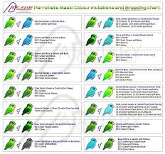 Lovebird Color Mutations Chart Parrotlets Basic Colour Mutation And Breeding Chart
