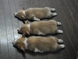 Why do they sleep so long? 37 Corgis In Costume Ideas Corgi Cute Animals Pets