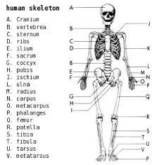 skeleton labeled  skeletons and human body on pinterestlabel worksheet  body worksheet  organ systems  body systems  body ingles  skeletons depicted  labelling activity  diagram skeleton  blank diagram