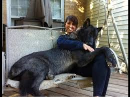 grey wolf size huge pet wolf massive size wolf youtube