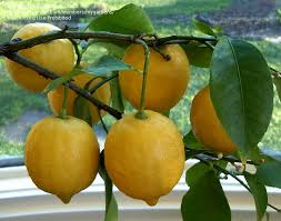 lemon tree x: delicious fruit but if it winters inside it needs a lot of humidity