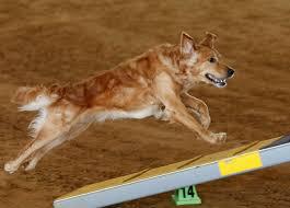 houston s premier dog agility center flashpaws agility center