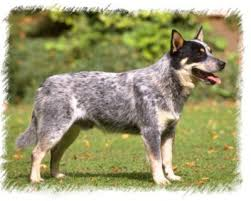 Cattle dog...