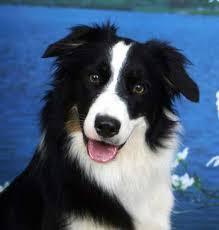 Ποιοι θεωρούνται οι πλέον έξυπνοι σκύλοι;