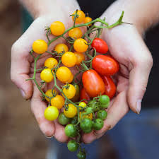 hands offering tomatoes