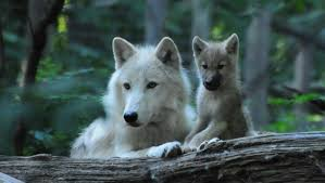 black wolf and white wolf pups. Modren Pups The Alpha Male Is Always The Largest And Will Continue Growing After Other  Wolves Had Stopped Arctic Can Be Black Grey Or White Throughout Black Wolf And White Pups U
