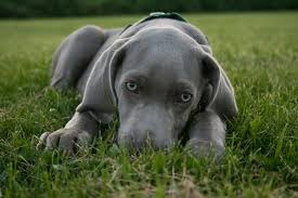 dog breed of the week weimaraner