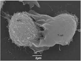 membrane nano s in t cell antigen receptor signalling figure