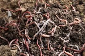 worms and vermicomposting best types of worms for vermicomposting