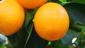 FruitScapes  IFAS Resources For Growing Fruit In Florida Fruit Trees For North Florida