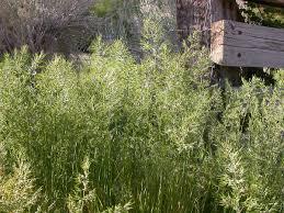Мятлик луковичный — Википедия
