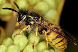 British Wasp Guide How To Identify Common Species