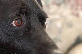 Dog Eye Infection: Types & Treatment | Canna-Pet