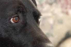 just like people dogs are e to diffe types of eye infections as a pet owner it s important to know not only the causes but the signs of eye