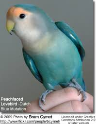 Lovebird Color Mutations Chart Peachfaced Lovebird Aka Rosy Faced Lovebird Breeding