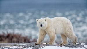 Polar Bear Facts: Behavior, Diet, Habitat, and More