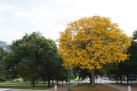 Yellow Tree   Christopher OKeefe   Flickr