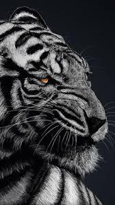 tiger iphone wallpaper. Beautiful Iphone A True Beauty For Tiger Iphone Wallpaper N