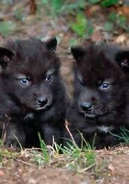 baby black wolf with blue eyes. Blueeyed Black Wolf PupsThese Are Endangered Animals Really Ashame It With Baby Blue Eyes