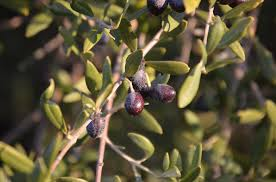 Wild Olive Tree Pictures Images And Stock Photos  IStockWild Olive Tree Fruit
