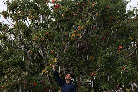 How To Prune Your Fruit Trees  Modern FarmerHow To Graph A Fruit Tree