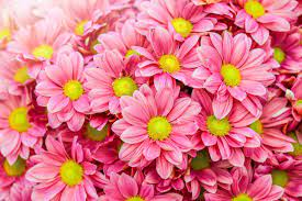 My Daisy Flowers HD Wallpapers New Tab ...