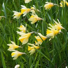 van zyverden yellow and white wild daffodils english wild daffodils and lent lily bulbs 12