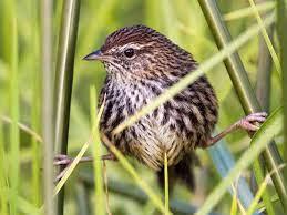 New Zealand Fernbird - eBird