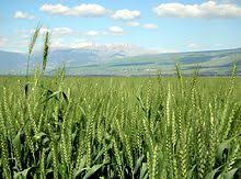 green revolution new varieties of wheat and other grains were instrumental to the green revolution