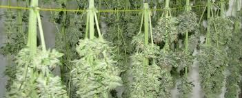 Image result for dry weed
