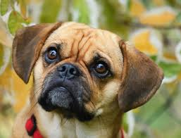 Puggle Growth Chart Puggle Owners Guide The Action Packed Pug Beagle Cross