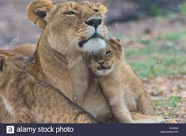 lioness and lion cuddle. Modren And Lioness And A Lion Cub Cuddling Together On The Savanna In Masai Mara  Kenya Inside And Lion Cuddle O
