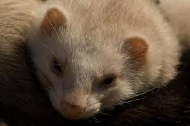 Ferret has black spot on anus