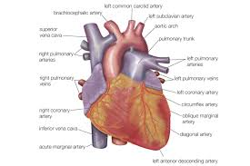 Cardiac Anatomy Chart The Anatomy Of The Heart Its Structures And Functions