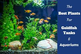 Low Light Cold Water Aquarium Plants 12 Best Plants For Goldfish Tanks And Aquariums