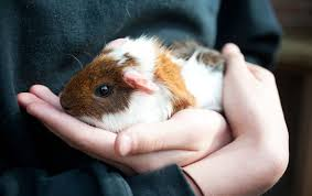 guinea pig lice about guinea pig lice