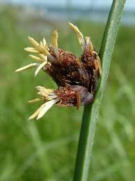 Schoenoplectus americanus Calflora