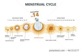 Ovulation Chart Female Menstrual Cycle Stock Illustration