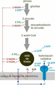 english atp ion in aerobic respiration