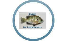 BLUEGILL by Avery Sanders on Prezi Next