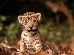 baby jaguar wallpaper. Fine Jaguar Adorable Baby Jaguar Inside Baby Jaguar Wallpaper R