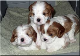 our aim with our breeding program is to breed healthy beautiful and loving cavalier king charles spaniel puppies