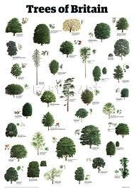 Tree Identification Chart Trees Of Britain Guardian Wallchart Prints From Easyart Com