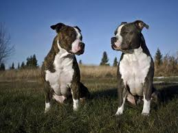 Types Of Pitbulls Chart Pit Bull Breeds And Types With Pictures