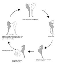 Seahorse Wikipedia