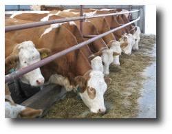 Сельское хозяйство Молочное и мясное скотоводство